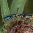 Malachite beetles, photo by @markandfran