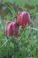 Snakes Head Fritillay. Image courtesy of Mike Dodd (Open University)